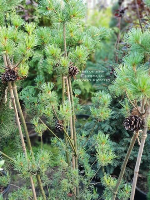 Сосна мелкоцветковая ФОТО Розплідник рослин Природа (46)