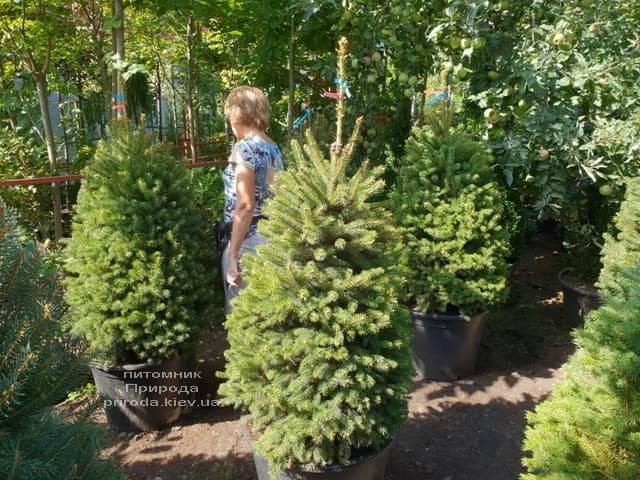 Ялина Глаука ФОТО Розплідник рослин Природа (47)