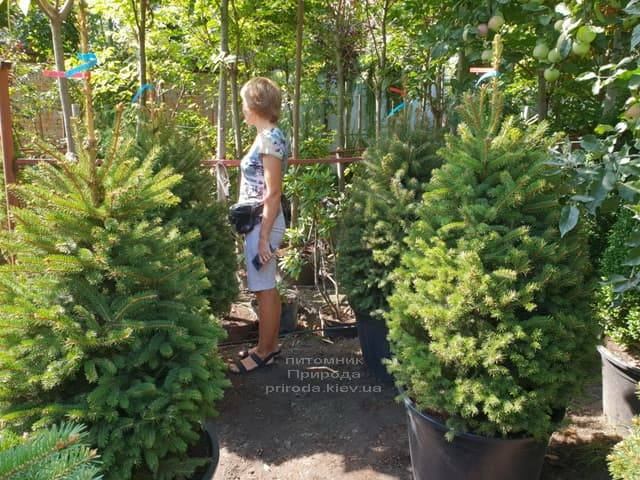 Ялина Глаука ФОТО Розплідник рослин Природа (48)