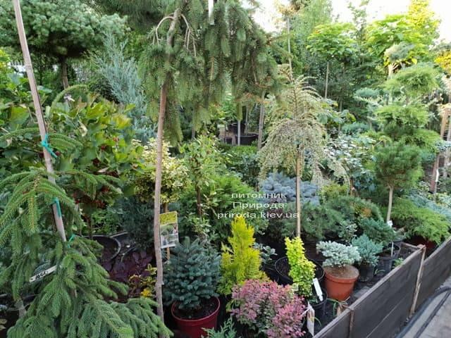 Хвойні і вічнозелені рослини ФОТО Розплідник рослин Природа (5)