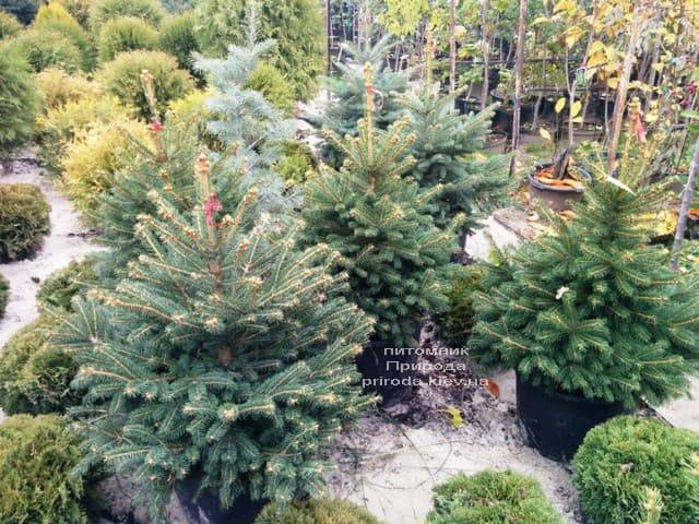 Ялина Глаука ФОТО Розплідник рослин Природа (53)