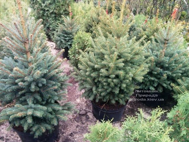 Ялина Глаука ФОТО Розплідник рослин Природа (54)