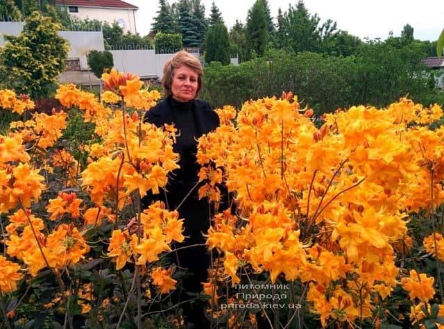 Цвіте Азалія крупноквіткова ФОТО Розплідник рослин Природа
