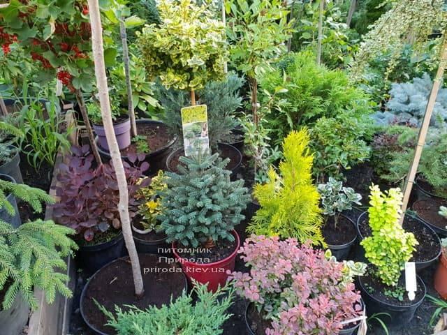 Хвойні і вічнозелені рослини ФОТО Розплідник рослин Природа (6)
