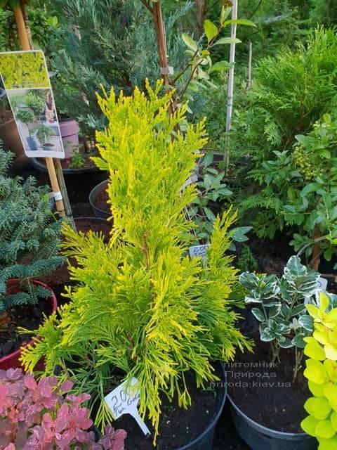 Хвойні і вічнозелені рослини ФОТО Розплідник рослин Природа (7)