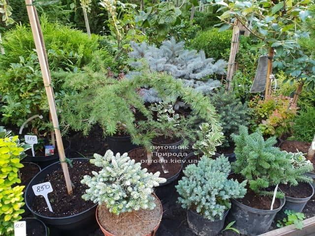 Хвойні і вічнозелені рослини ФОТО Розплідник рослин Природа (8)