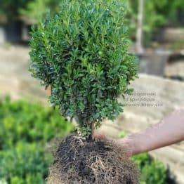 Самшит вечнозелёный (Buxus sempervirens) ФОТО Питомник растений Природа (1)