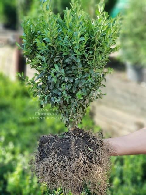 Самшит вечнозелёный (Buxus sempervirens) ФОТО Питомник растений Природа (2)
