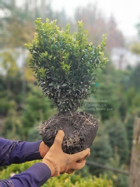 Самшит вечнозелёный (Buxus sempervirens) ФОТО Питомник растений Природа (4)