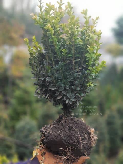 Самшит вечнозелёный (Buxus sempervirens) ФОТО Питомник растений Природа (5)