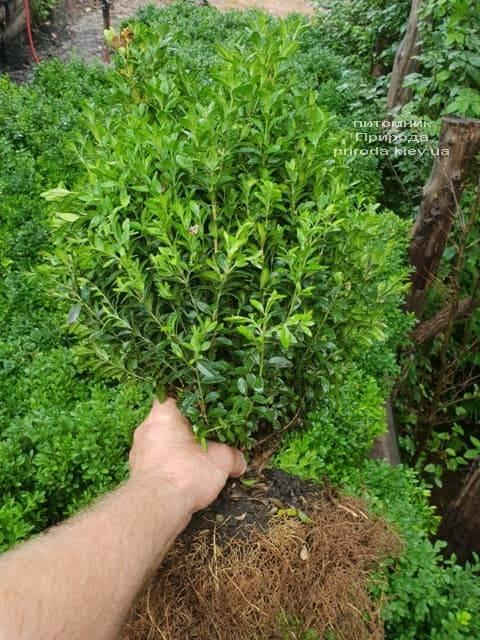 Самшит вечнозелёный (Buxus sempervirens) ФОТО Питомник растений Природа (6)