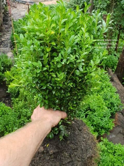Самшит вічнозелений (Buxus sempervirens) ФОТО Розплідник рослин Природа (7)