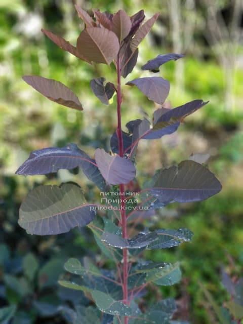Скумпия кожевенная Грейс (Cotinus coggygria Grace) ФОТО Питомник растений Природа (1)