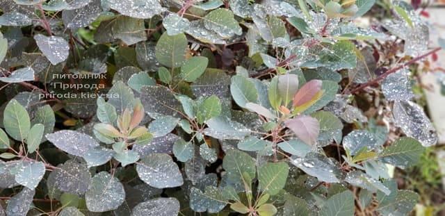 Скумпия кожевенная Грейс (Cotinus coggygria Grace) ФОТО Питомник растений Природа (4)