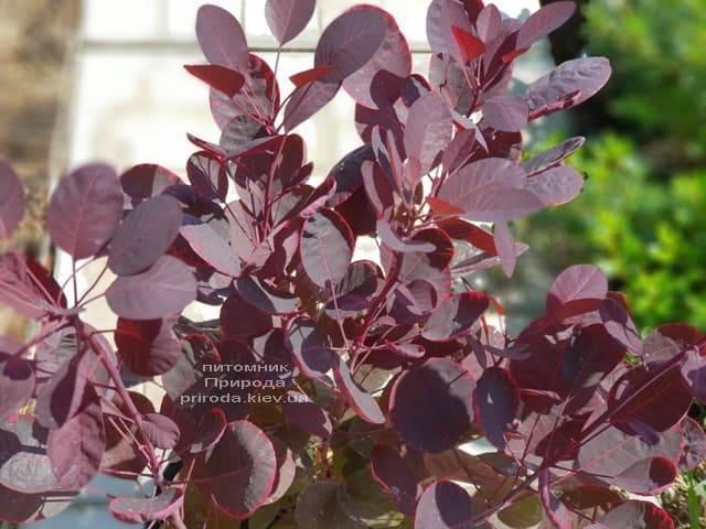 Скумпия кожевенная Лилла (Cotinus coggygria Lilla) ФОТО Питомник растений Природа (2)