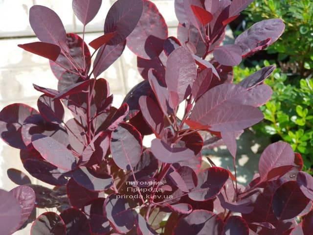 Скумпия кожевенная Лилла (Cotinus coggygria Lilla) ФОТО Питомник растений Природа (4)
