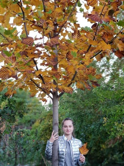 Тюльпановое дерево Лириодендрон (Liriodendron tulipifera) ФОТО Питомник растений Природа (1)