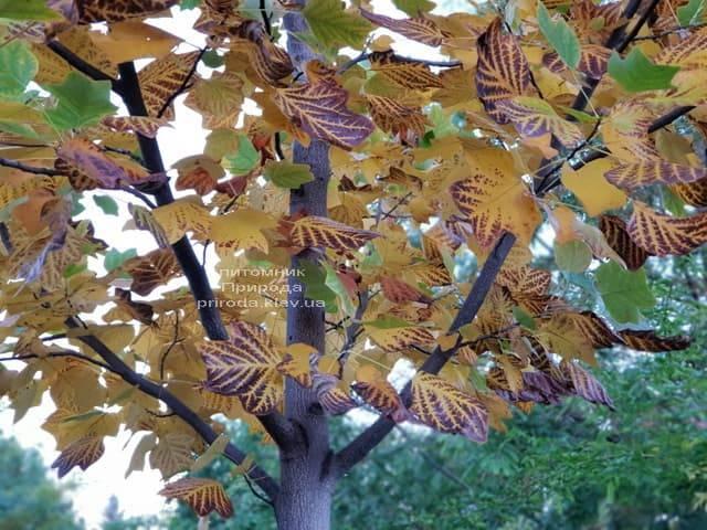 Тюльпановое дерево Лириодендрон (Liriodendron tulipifera) ФОТО Питомник растений Природа (3)