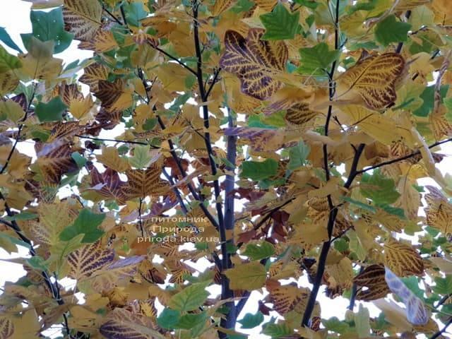 Тюльпановое дерево Лириодендрон (Liriodendron tulipifera) ФОТО Питомник растений Природа (4)