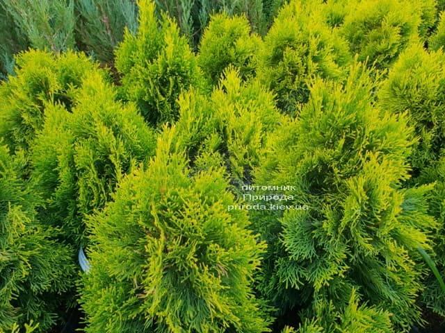 Туя западная Джанед Голд (Голден Смарагд) (Thuja occidentalis Janed Gold (Golden Smaragd) ФОТО Питомник растений Природа (1)