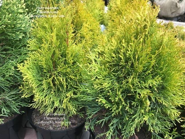 Туя західна Джанед Голд (Голден Смарагд) (Thuja occidentalis Janed Gold (Golden Smaragd) ФОТО Розплідник рослин Природа (2)