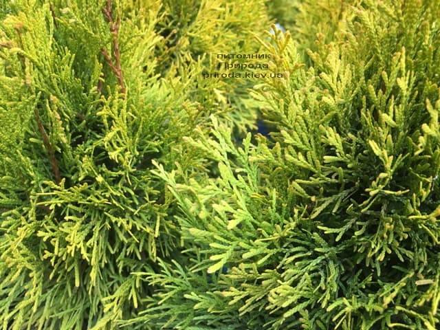 Туя западная Джанед Голд (Голден Смарагд) (Thuja occidentalis Janed Gold (Golden Smaragd) ФОТО Питомник растений Природа (3)