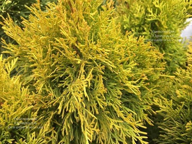 Туя западная Джанед Голд (Голден Смарагд) (Thuja occidentalis Janed Gold (Golden Smaragd) ФОТО Питомник растений Природа (4)