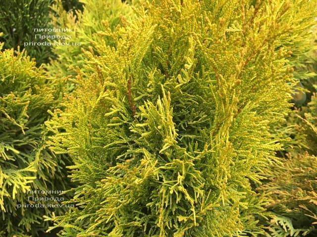 Туя западная Джанед Голд (Голден Смарагд) (Thuja occidentalis Janed Gold (Golden Smaragd) ФОТО Питомник растений Природа (5)