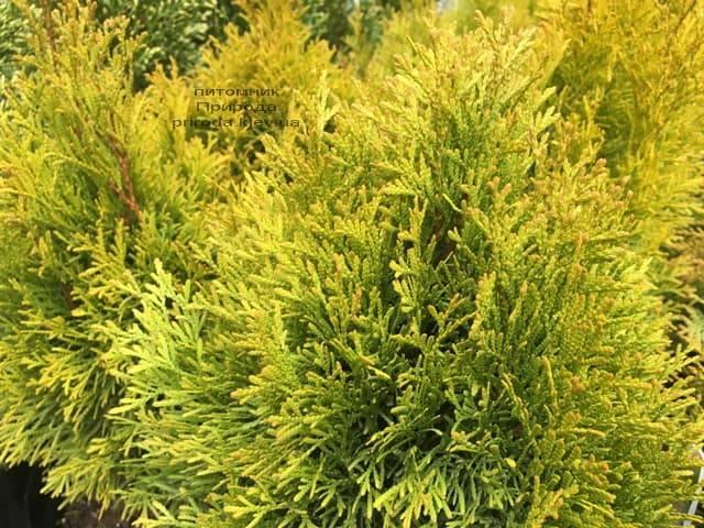 Туя західна Джанед Голд (Голден Смарагд) (Thuja occidentalis Janed Gold (Golden Smaragd) ФОТО Розплідник рослин Природа (6)