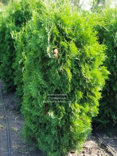 Туя західна колоновидна Колумна (Thuja occidentalis Columna) ФОТО Розплідник рослин Природа (15)