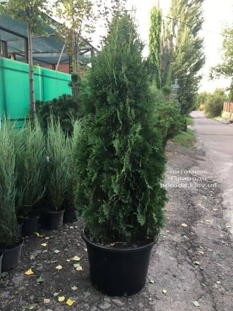 Туя західна колоновидна Колумна (Thuja occidentalis Columna) ФОТО Розплідник рослин Природа (21)