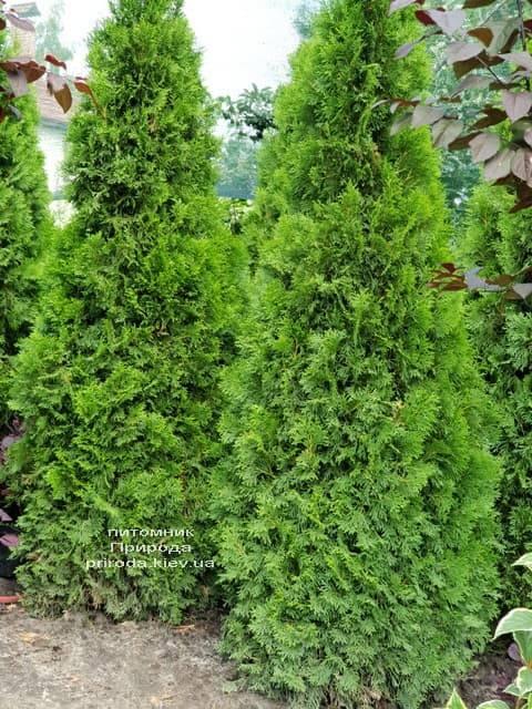 Туя західна Смарагд (Thuja occidentalis Smaragd) ФОТО Розплідник рослин Природа (56)