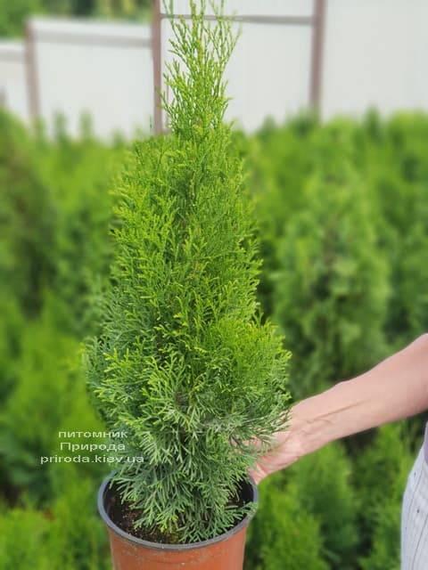 Туя західна Смарагд (Thuja occidentalis Smaragd) ФОТО Розплідник рослин Природа (57)