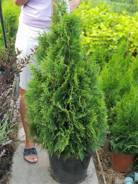 Туя західна Смарагд (Thuja occidentalis Smaragd) ФОТО Розплідник рослин Природа (58)