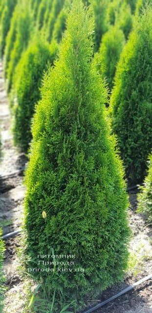 Туя західна Смарагд (Thuja occidentalis Smaragd) ФОТО Розплідник рослин Природа (60)
