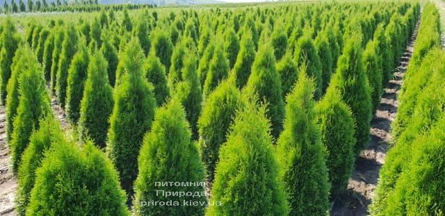 Туя західна Смарагд (Thuja occidentalis Smaragd) ФОТО Розплідник рослин Природа (61)