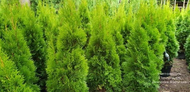 Туя західна Смарагд (Thuja occidentalis Smaragd) ФОТО Розплідник рослин Природа (62)