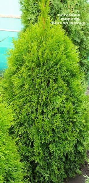 Туя західна Смарагд (Thuja occidentalis Smaragd) ФОТО Розплідник рослин Природа (63)