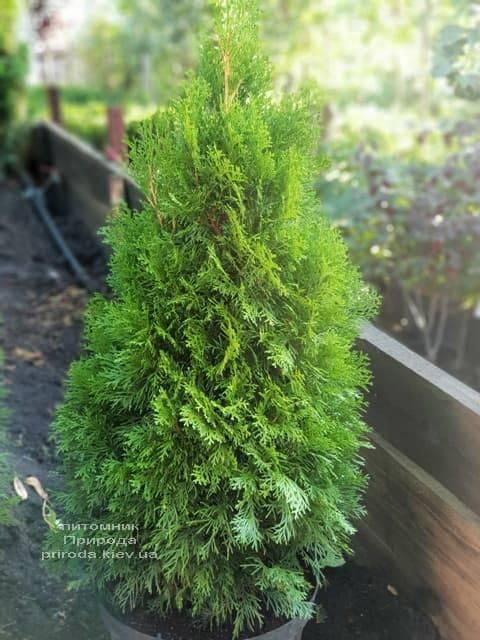 Туя західна Смарагд (Thuja occidentalis Smaragd) ФОТО Розплідник рослин Природа (65)