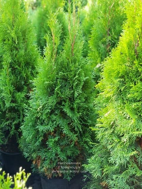 Туя західна Смарагд (Thuja occidentalis Smaragd) ФОТО Розплідник рослин Природа (67)