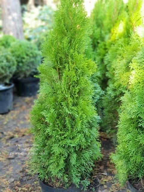 Туя західна Смарагд (Thuja occidentalis Smaragd) ФОТО Розплідник рослин Природа (69)