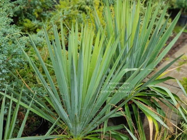 Юкка нитчатая (Yucca filamentosa) ФОТО Розплідник рослин Природа (1)