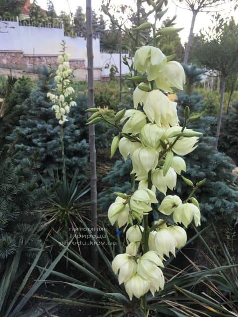 Юкка нитчатая (Yucca filamentosa) ФОТО Розплідник рослин Природа (4)