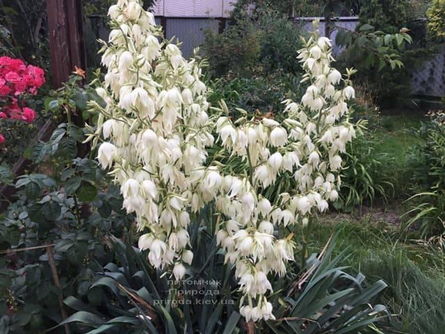 Юкка нитчатая (Yucca filamentosa) ФОТО Питомник растений Природа (5)