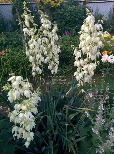 Юкка нитчатая (Yucca filamentosa) ФОТО Розплідник рослин Природа (7)