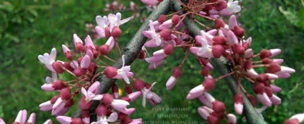 Церцис канадский (Cercis canadensis) ФОТО Питомник растений Природа (1)