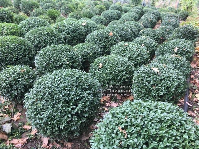 Самшит вечнозелёный Шар (Buxus sempervirens Boll) ФОТО Питомник растений Природа (2)