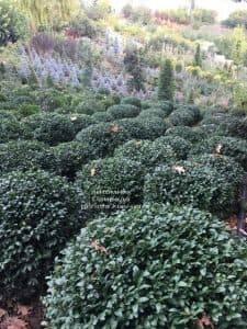 Самшит вечнозелёный Шар (Buxus sempervirens Boll) ФОТО Питомник растений Природа (3)