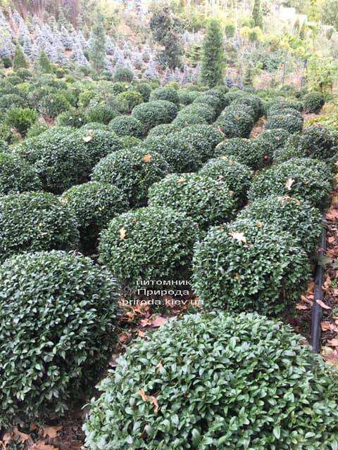 Самшит вічнозелений Куля (Buxus sempervirens Boll) ФОТО Розплідник рослин Природа (4)