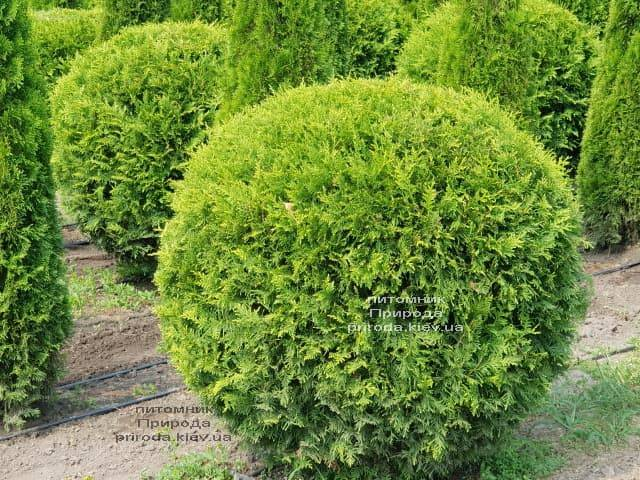 Туя західна Брабант Куля (Thuja occidentalis Brabant Boll) ФОТО Розплідник рослин Природа (1)